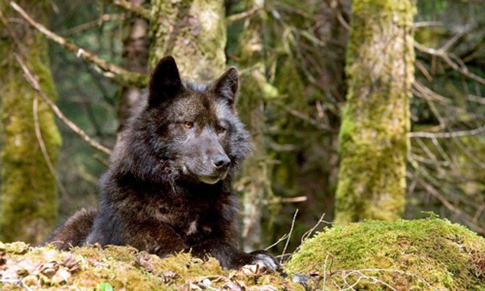 Rare Alaskan Wolves Considered for Endangered Species List