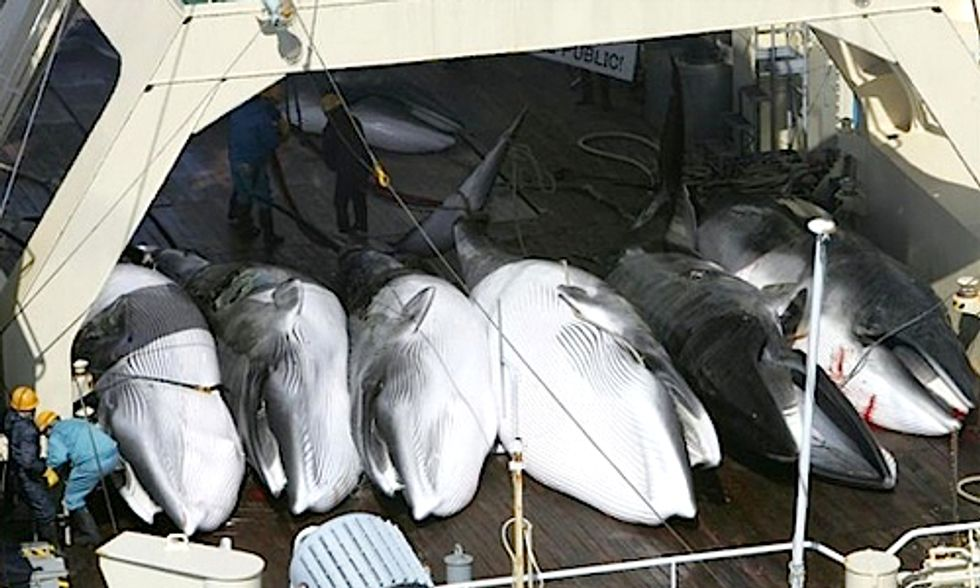 International Court Rules Japan's 'Research' Whaling Illegal in Landmark Case