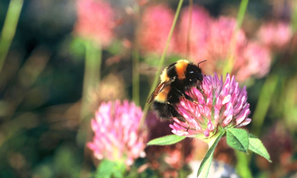 24 Percent of Europe's Bumblebees Threatened With Extinction