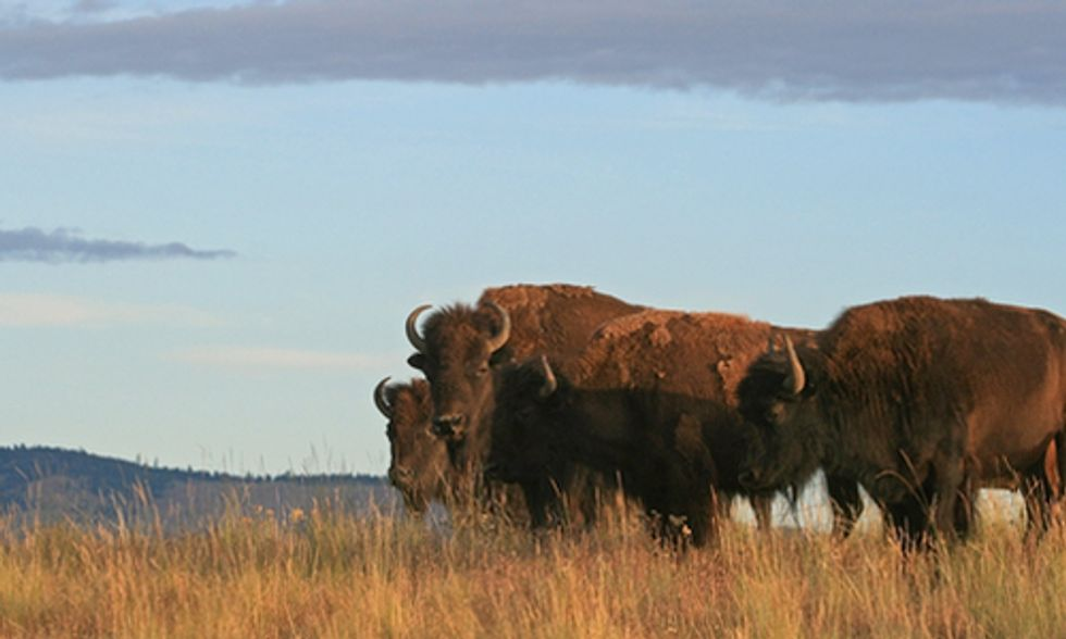 Victory: Judge Rejects Livestock Label for Wild Bison in Montana