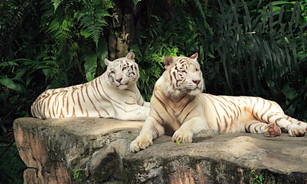 Prized for Profit: Rare White Lions and Tigers Exposed to Selective Inbreeding in Zoos