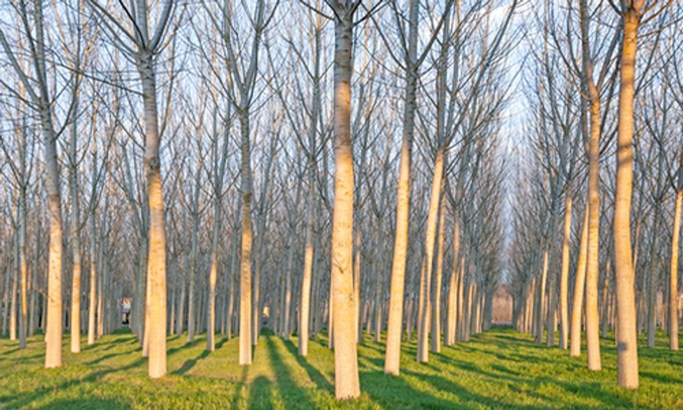 Genetically Engineering Trees for Biofuel Undermines Real Energy and Climate Solutions