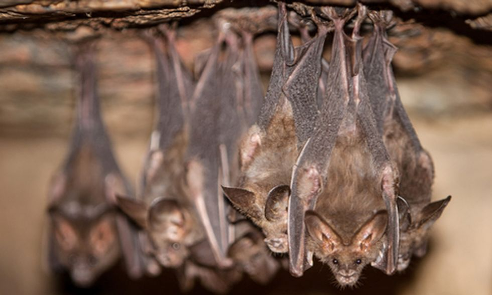 Devastating Bat-Killing Disease Spreads From Eastern U.S. to Midwest States