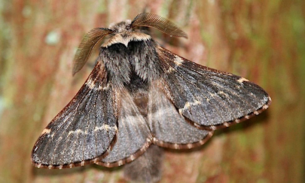 Is This Moth Beating Climate Change?