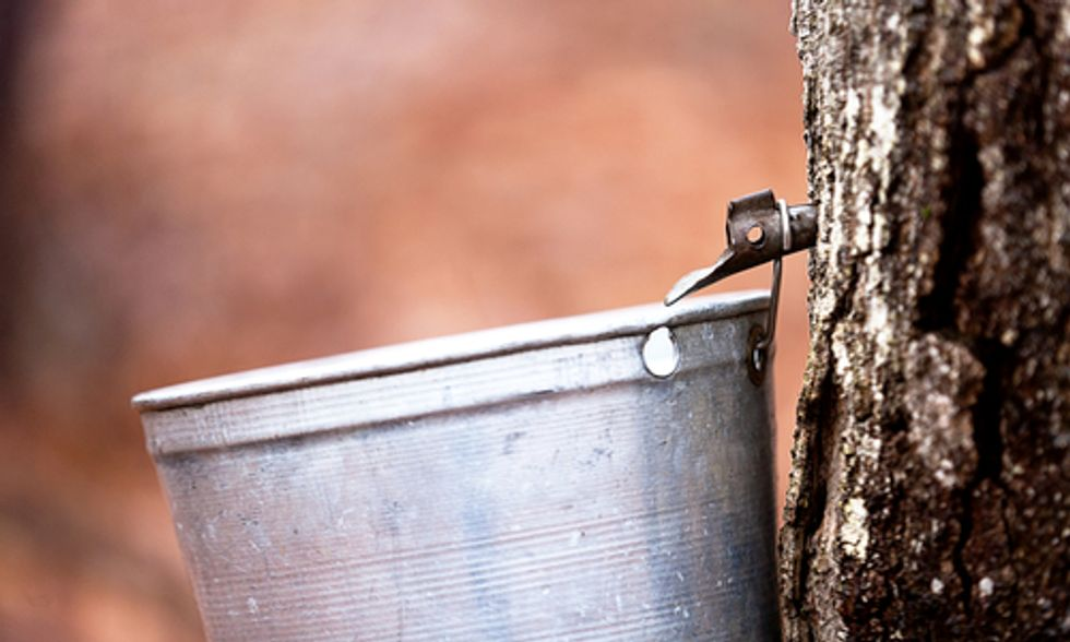 Maple Syrup Threatened By Climate Change