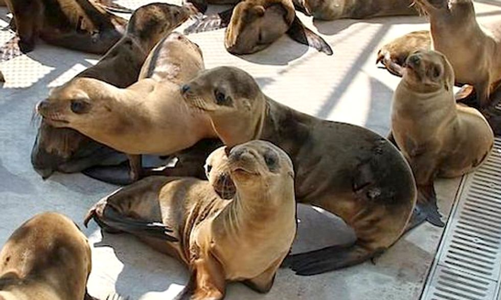 Overfishing to Blame for Sardine Shortage and Starving Sea Lions