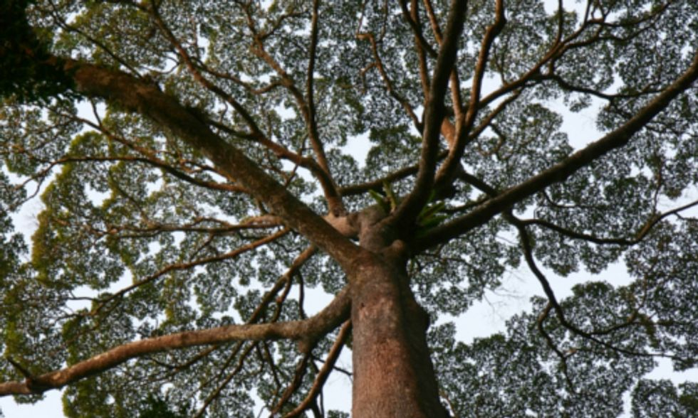 Researchers Find Trees in Borneo Soak Up More CO2 Than Trees in the Amazon Rainforest