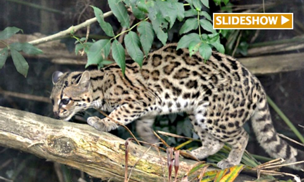 Small Wild Cats Face Big Threats Including Lack of Conservation Funds