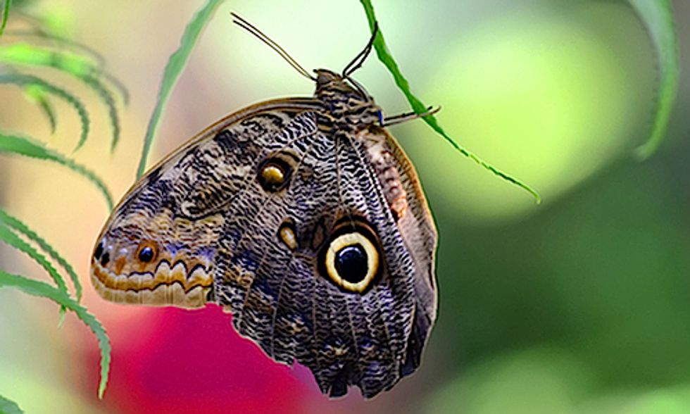 Evolution of Butterfly 'Eyespots' Lend Insight Into Age-Old 'Chicken or the Egg' Riddle