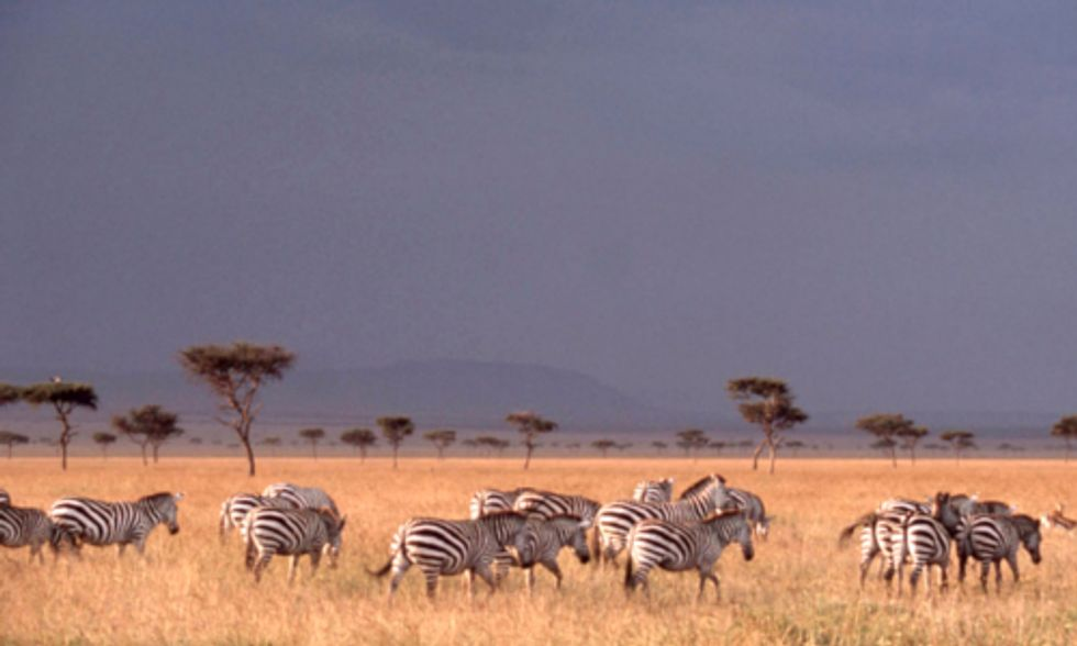 Researchers Discover African Zebras Log World's Longest-Known Terrestrial Migration