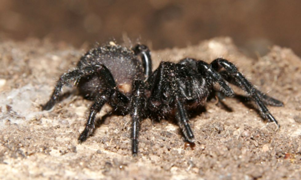 Could Spider Venom Save the Bees?