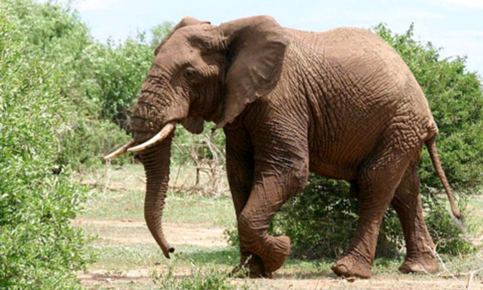 20,000+ Elephants Poached in Africa in 2013