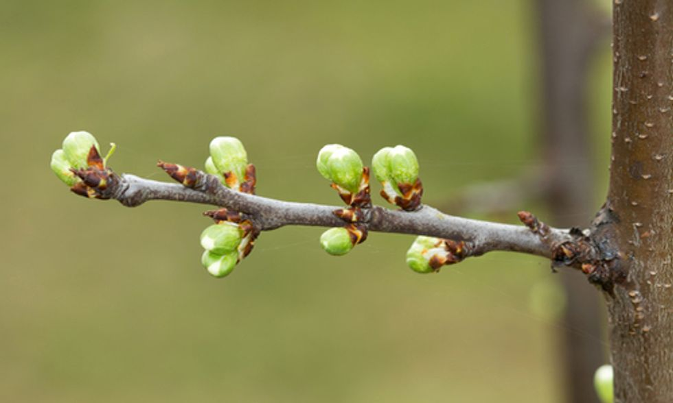 Research Finds Critical 'Bud-Break' Gene Aids Trees in Adapting to Climate Change