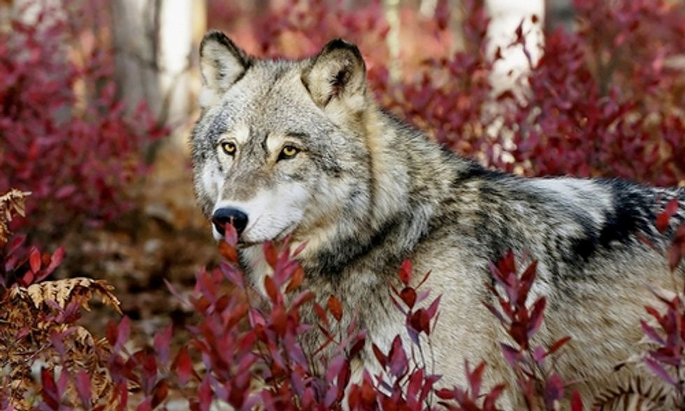 Simple Solutions for Coexistence of Wolves and Livestock