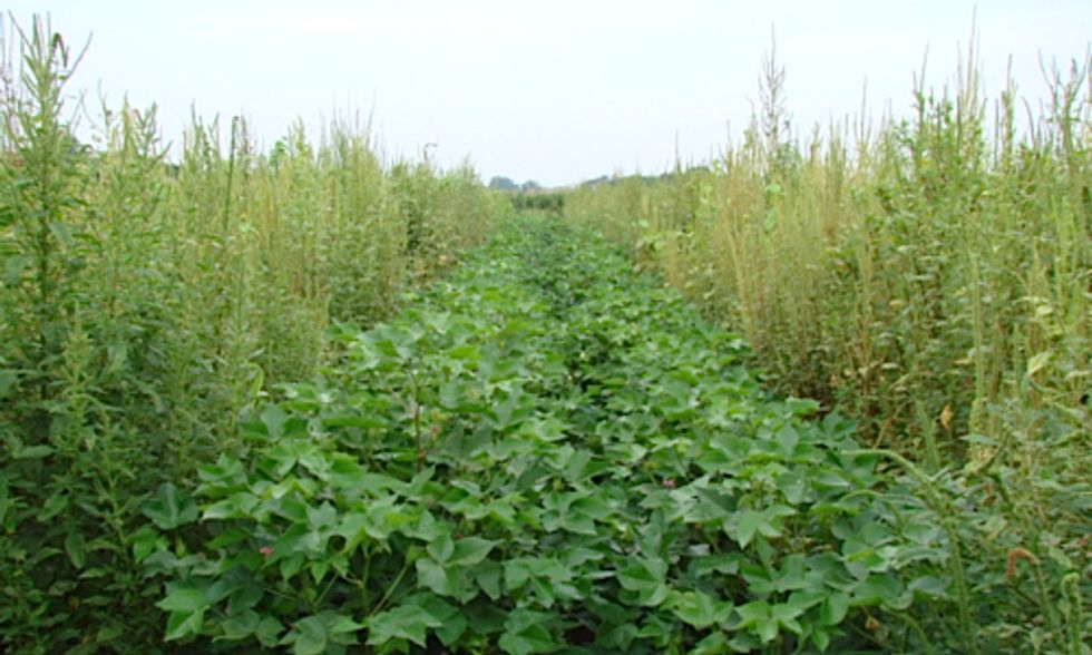 Texas Requests 'Emergency Use' of Restricted Herbicide to Kill Superweeds