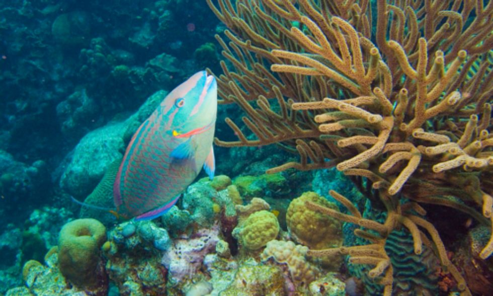 Protecting Parrotfish Could Slow Decline of Caribbean Coral Reefs