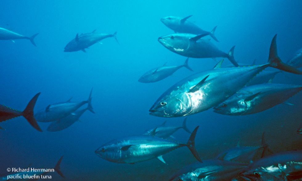 Pacific Bluefin Tuna Population at Brink of Collapse