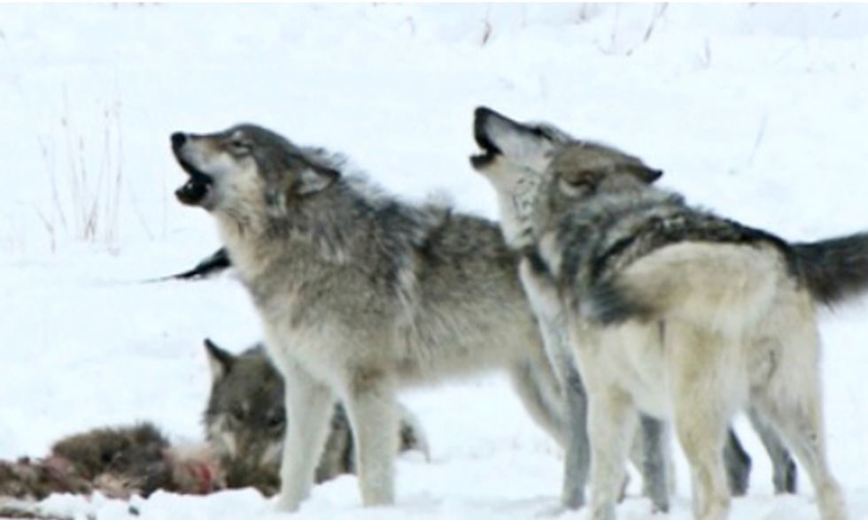 Will We Ever Coexist With Gray Wolves?
