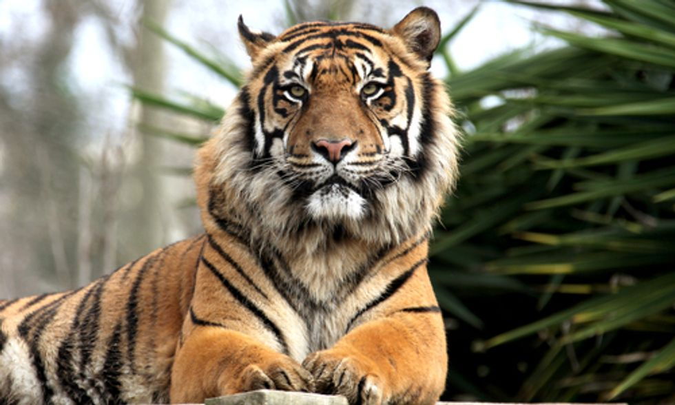 Poaching to Palm Oil: Tigers at Risk of Extinction