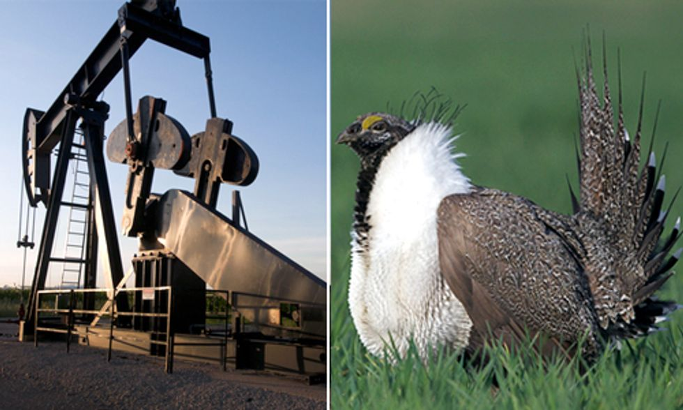 How Oil & Gas Drilling Impacts the Endangered Greater Sage Grouse and Lesser Prairie-Chicken