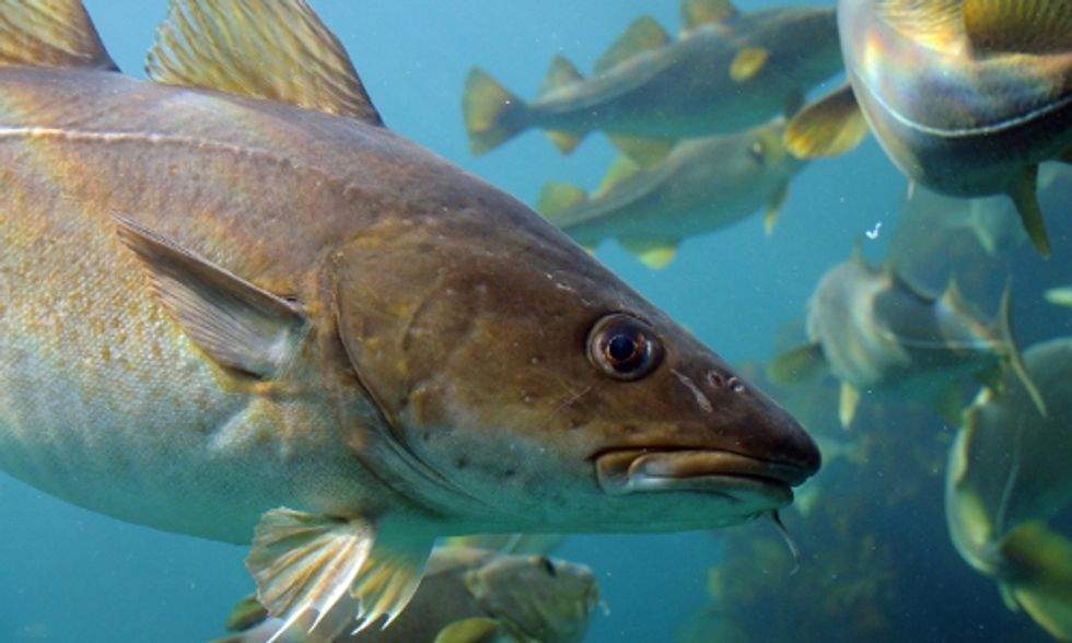New England's Cod in Crisis