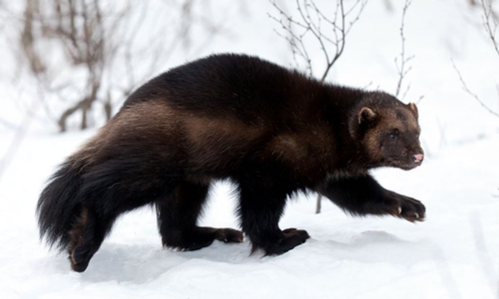 Wolverine Wipeout: FWS Rules Against Endangered Species Listing