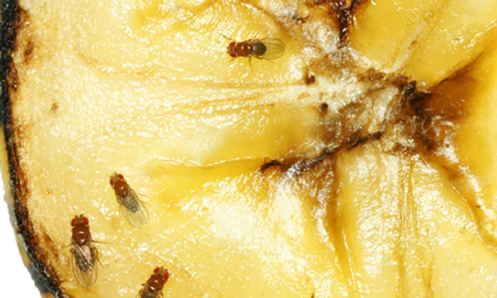5 Natural Ways to Get Rid of Fruit Flies
