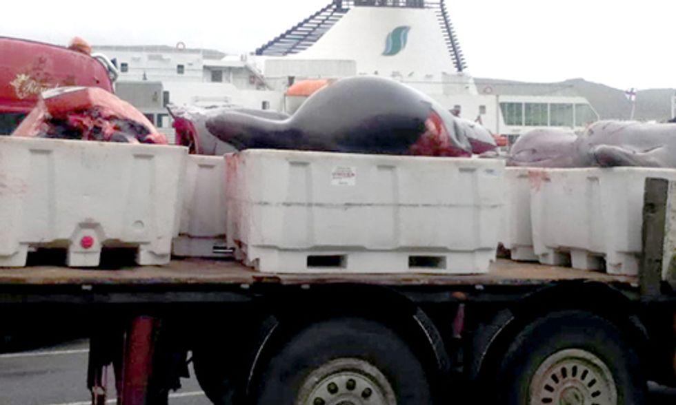 5 Beached Bottlenose Whales Slaughtered in Faroe Islands, 14 Sea Shepherd Volunteers Arrested