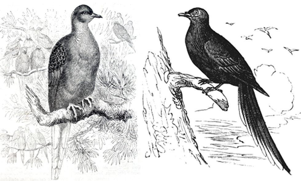Passenger Pigeons and the Destructive Power of Humans