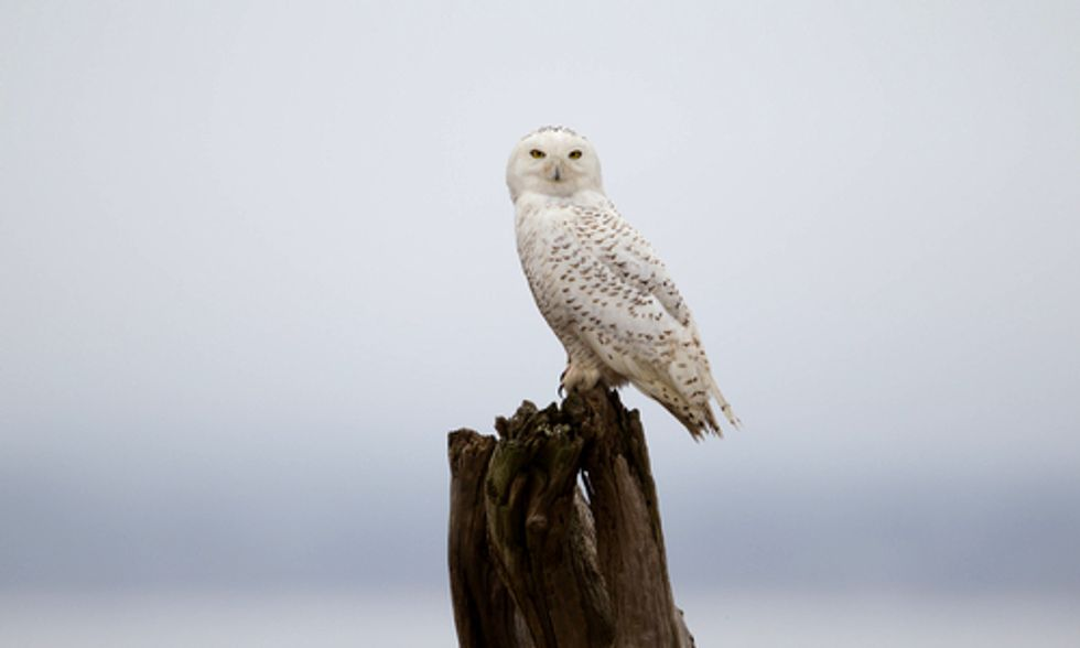 Snowy Owl Flocks to Southern States in Search of Food
