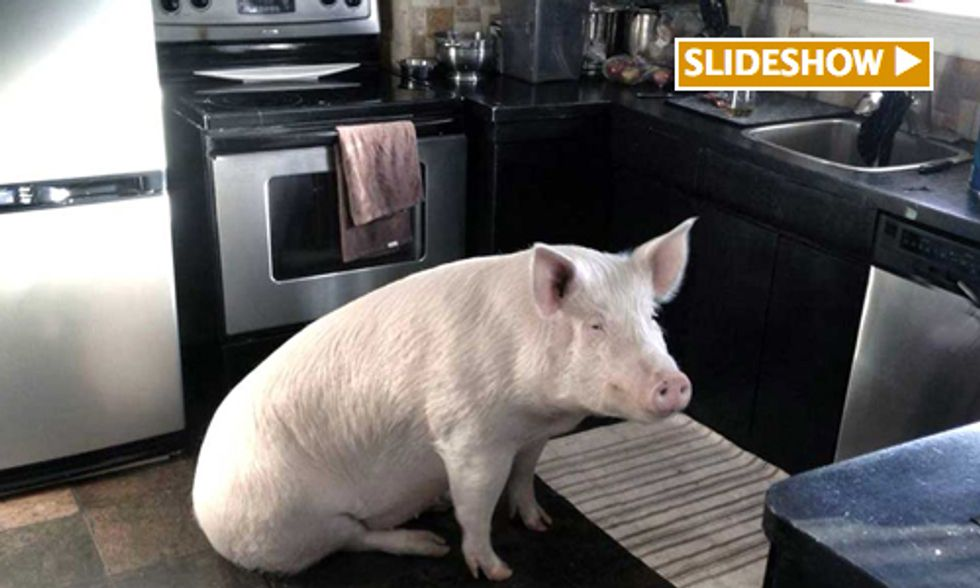 How Esther the Wonder Pig Inspired Me to Go Vegan