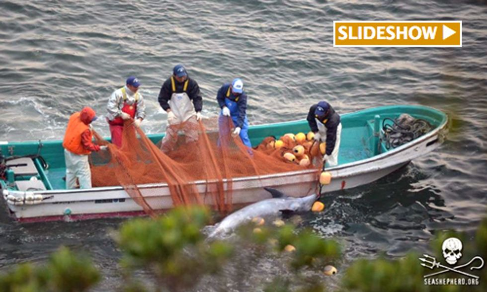 250+ Bottlenose Dolphins Captured in Japan's Taiji Cove Hunt
