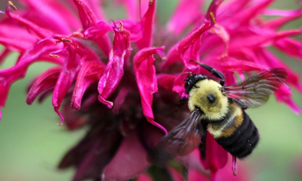 New Website Helps Identify Bumblebees and Protect Pollinators