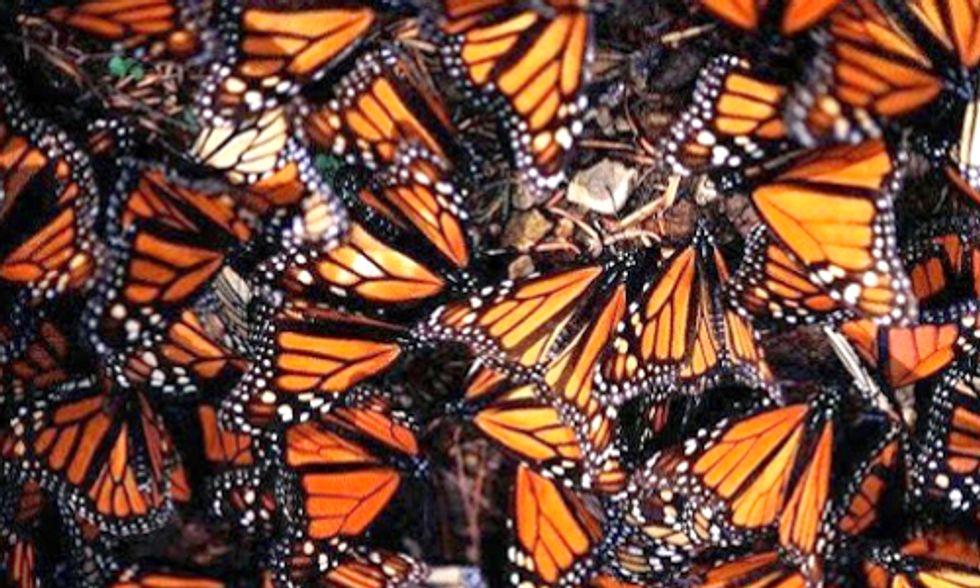New Report Shows Monsanto A Major Culprit in Record Decline of Monarch Butterflies