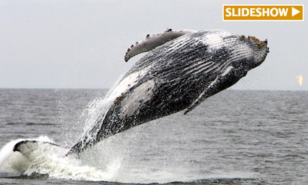 Study Finds Proximity to Offshore Oil and Gas Drilling Rigs Threaten Humpback Whales