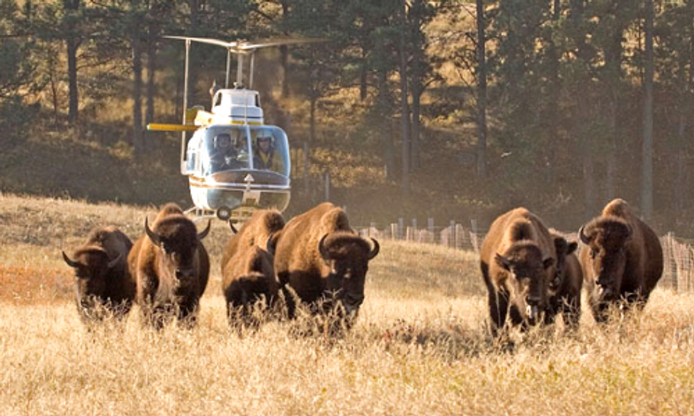 Yellowstone Begins 2014 Wild Bison Slaughter