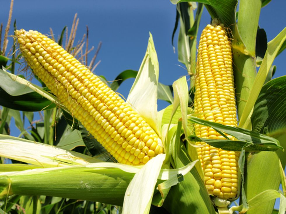 Despite Majority Opposition, GMO Corn Gets Green Light in Europe
