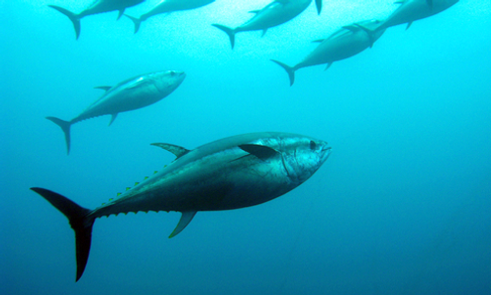 Bluefin Tuna Suffering From Heart Attacks Due to BP Gulf Oil Spill