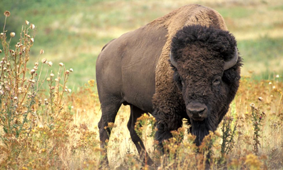 Update: Yellowstone Ships 17 More of America's Last Wild Bison to Slaughter