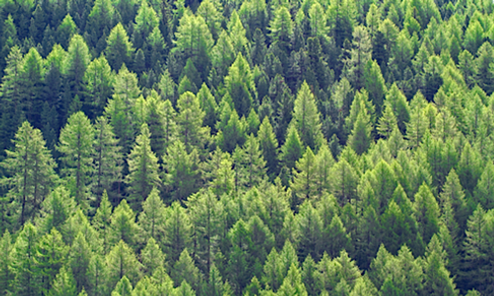 Research Finds Vapors From Coniferous Trees Could Help Slow Global Warming