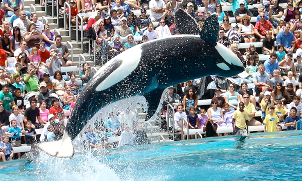 California Bill Seeks to Ban Orcas in Captivity at Marine Parks