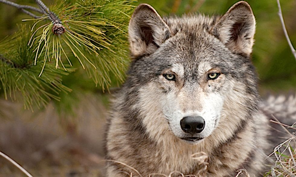 Idaho Passes Bill to Kill Hundreds of Wolves