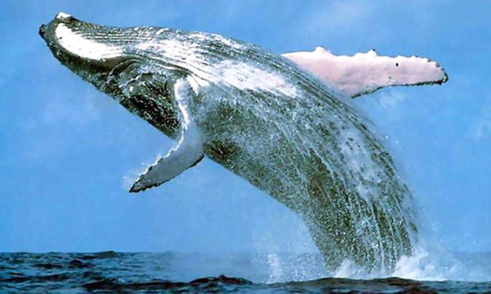 Report Exposes Products Driving International Killing and Trade of Whales