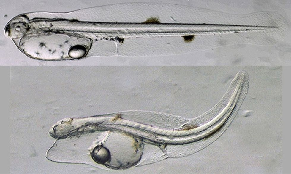 Evidence Finds BP Gulf Oil Disaster Causing Widespread Deformities in Fish