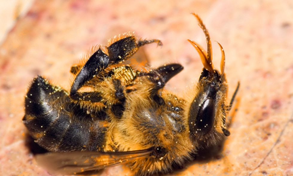 Study Shows Bee-Killing Neonicotinoid Seed Treatments Offer 'Little to No Benefit'