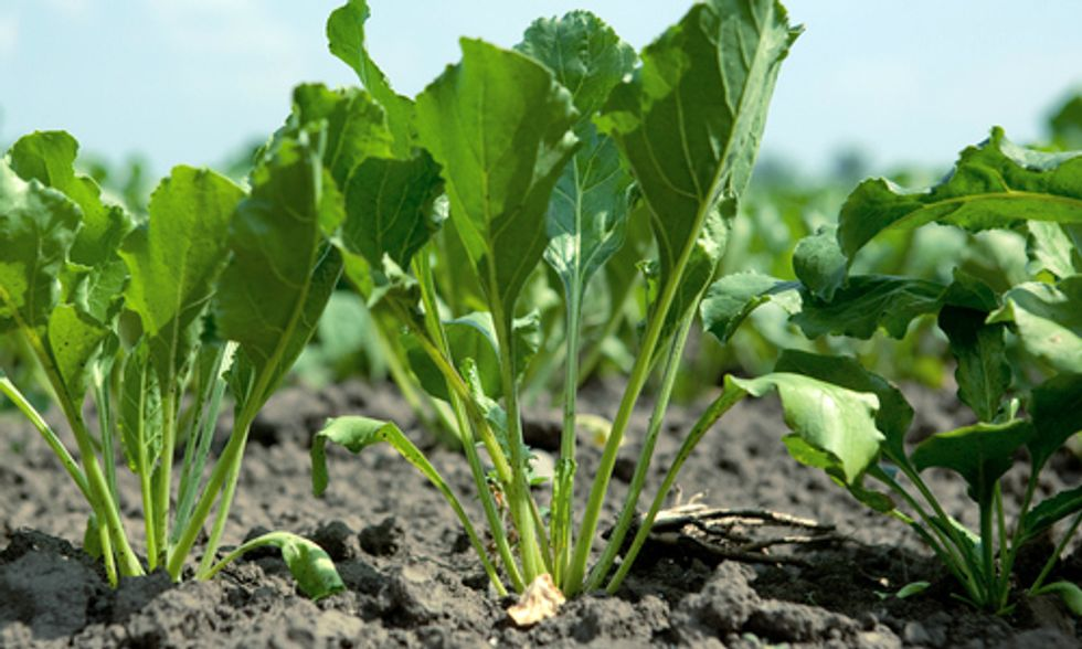Sugar Beet Leaves Create Vegan Protein Alternative