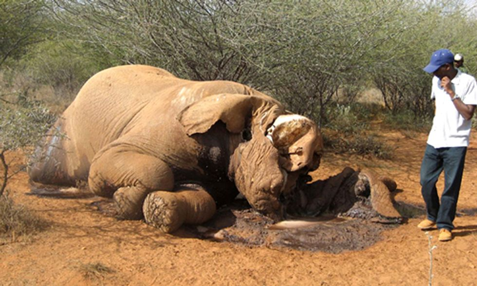 68 Elephants Massacred in Democratic Republic of Congo in Past 60 Days, Is Extinction Only Decades Away?