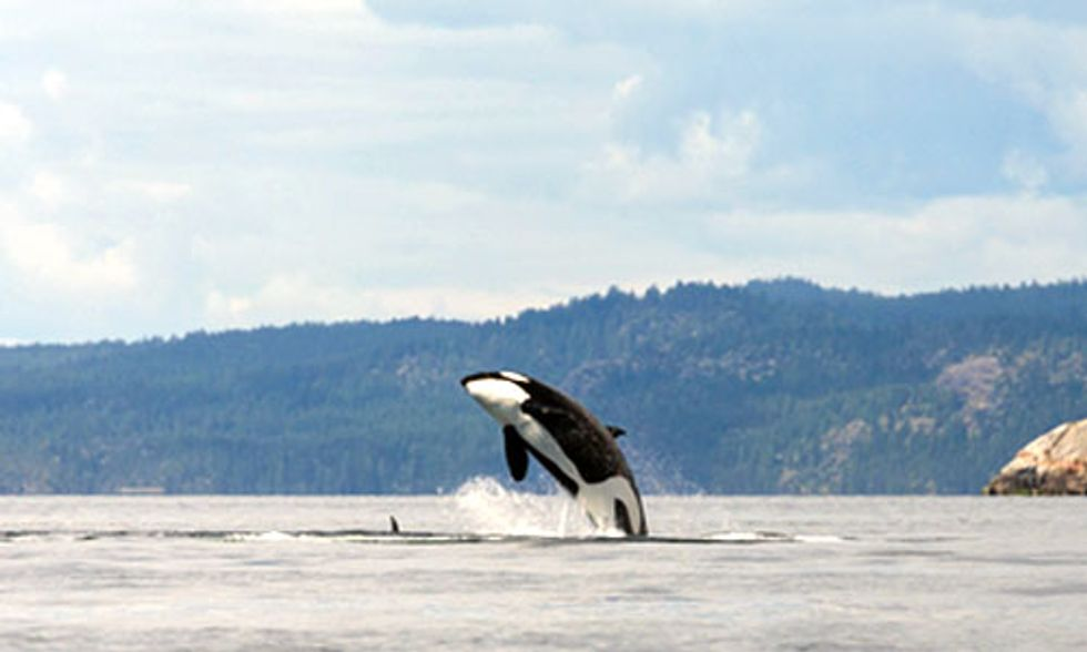 California's Historic Drought Threatens the Future of Orca Whales