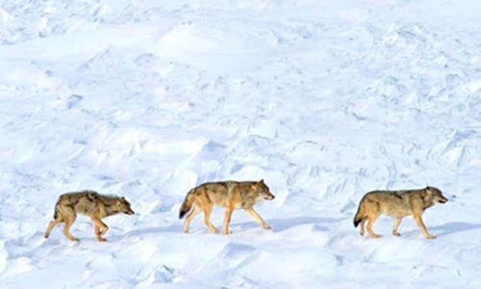 Only 3 Wolves Left at Isle Royale National Park