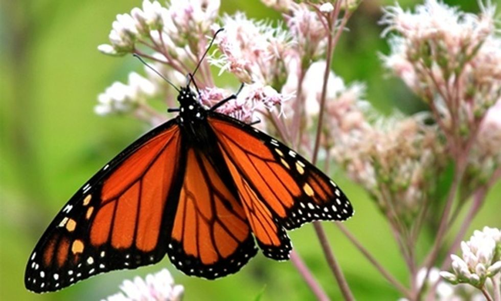 David Suzuki: How to Save the Monarch Butterfly